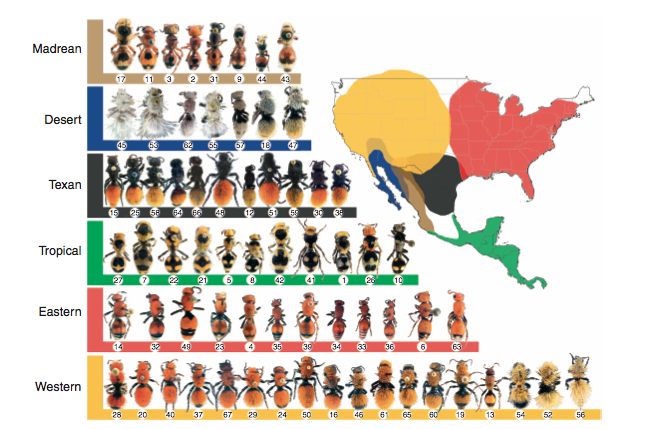Figure of Dasymutilla diversity in North America, along with associated mimicry rings (figure from Wilson et al. 2012).