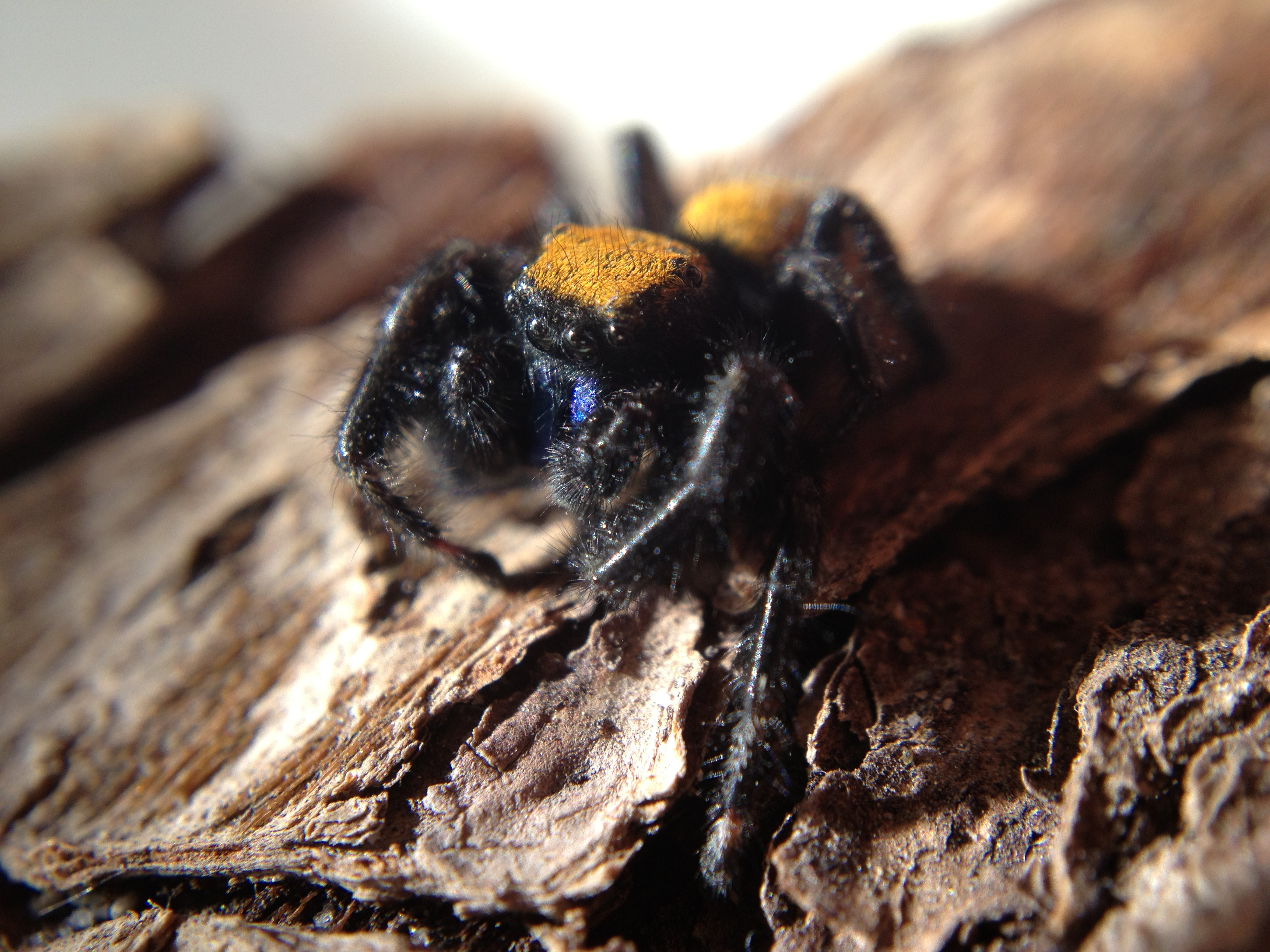 Jumping spider velvet ant mimic