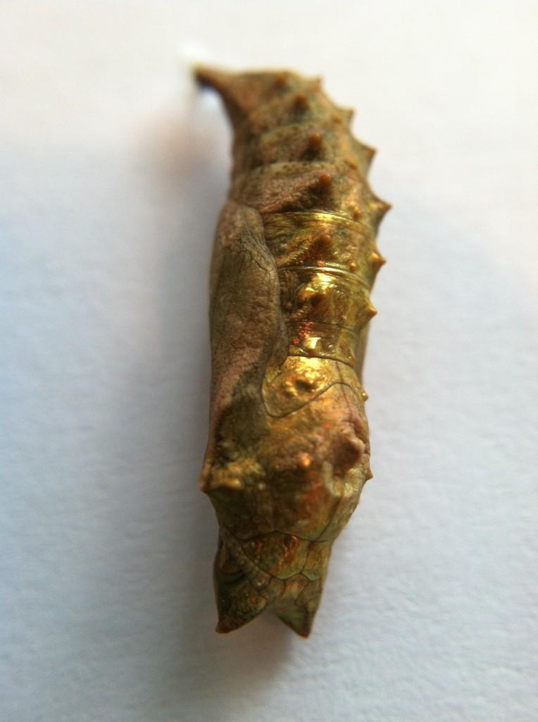 Milberts' chrysalis.