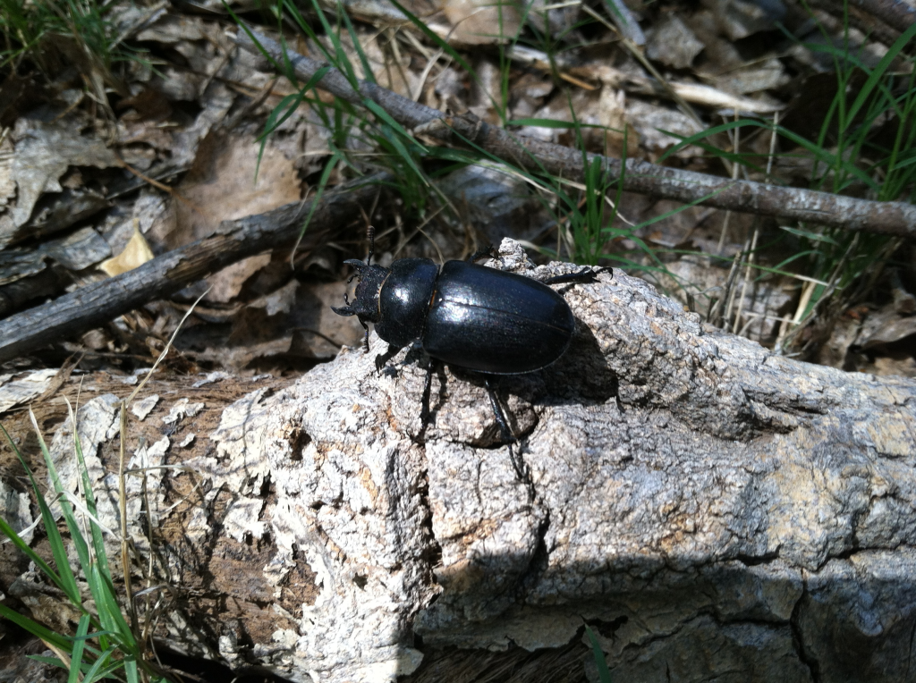 Female stag beetle that was hiding in a rotting log- prime beetle habitat