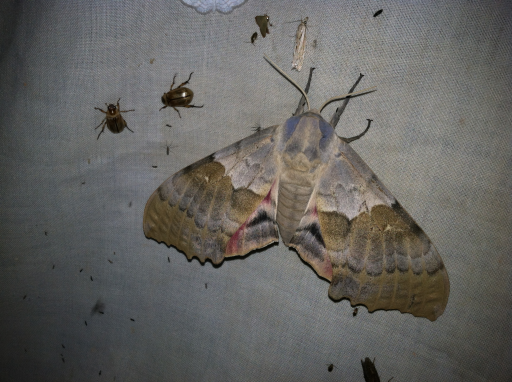 Poplar moth, Pachysphinx modesta, a large and beautiful moth
