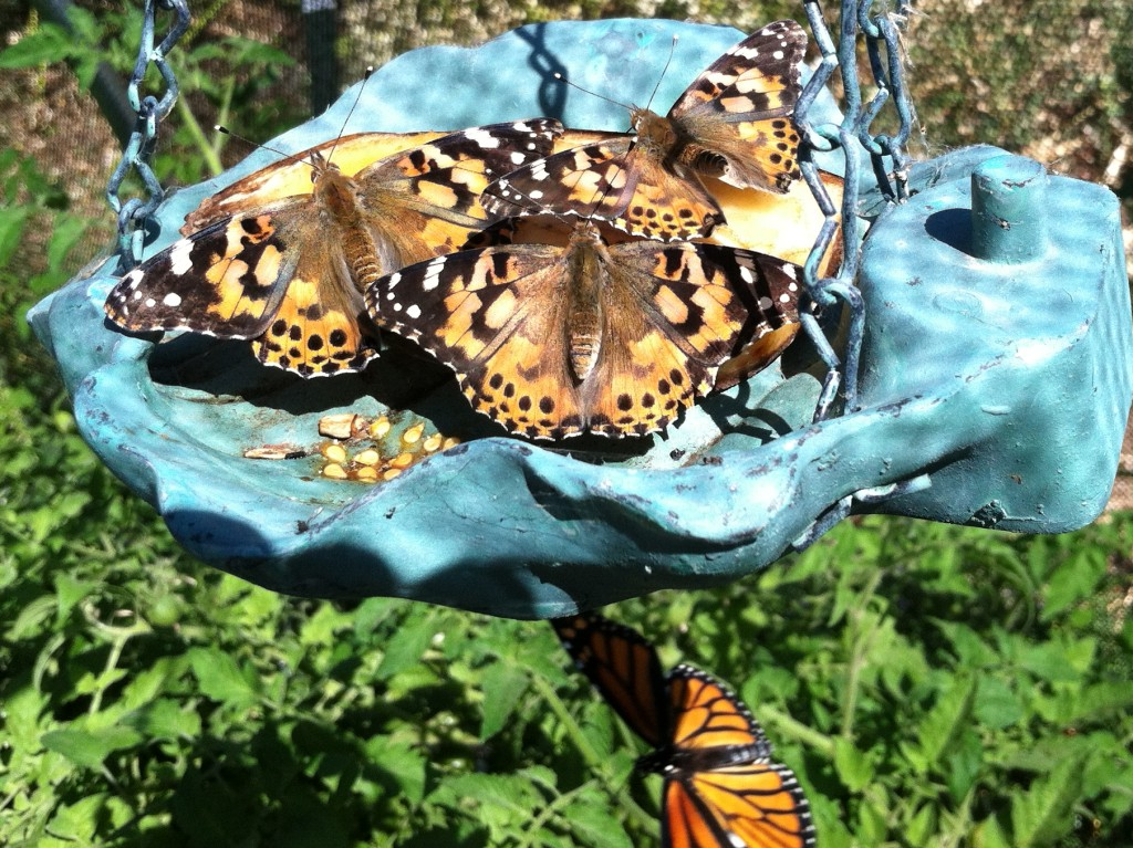 The kids from Triad Elementary came and release 60 painted lady adults into the house, where they basked in the sunlight and dined on old fruit, a favorite of nymphalid butterflies.