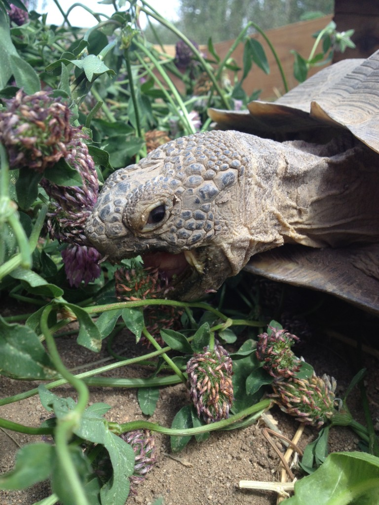 One of our desert tortoises, Watson, dining on clover flowers