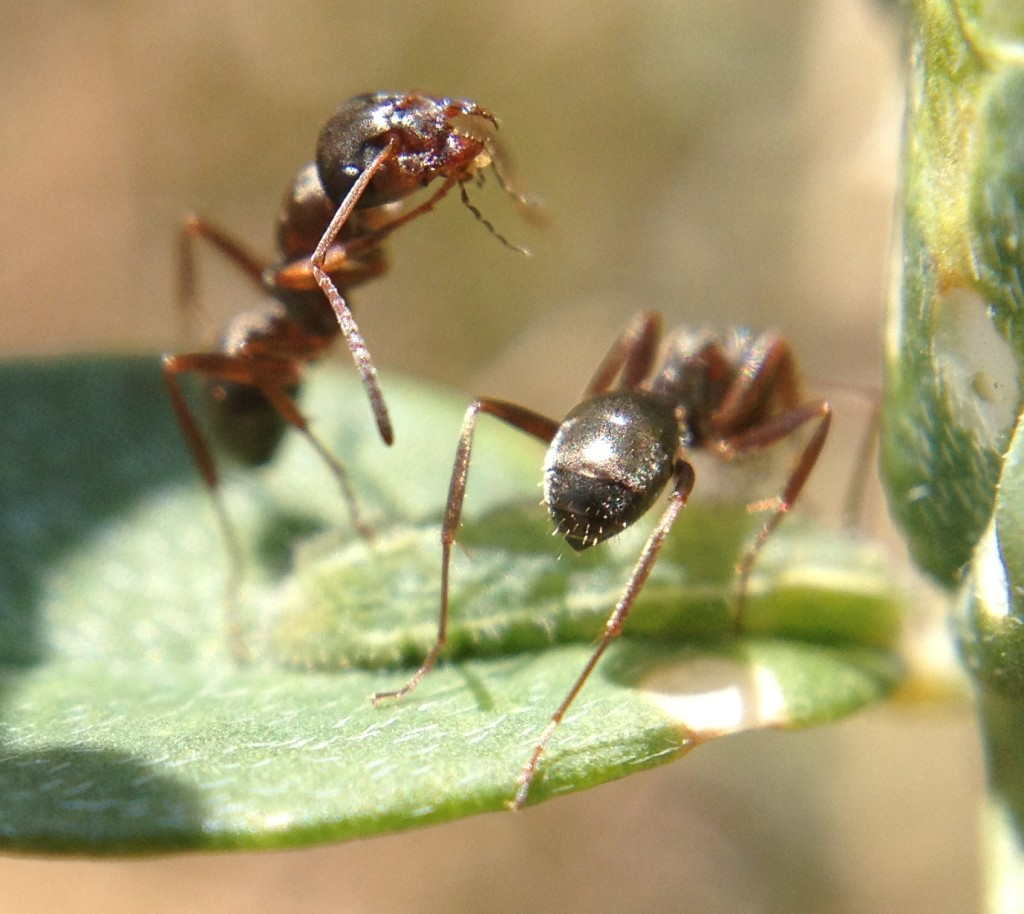 Mutualism in action! These ants is harvesting sugar water from this Lycaeides caterpillar.