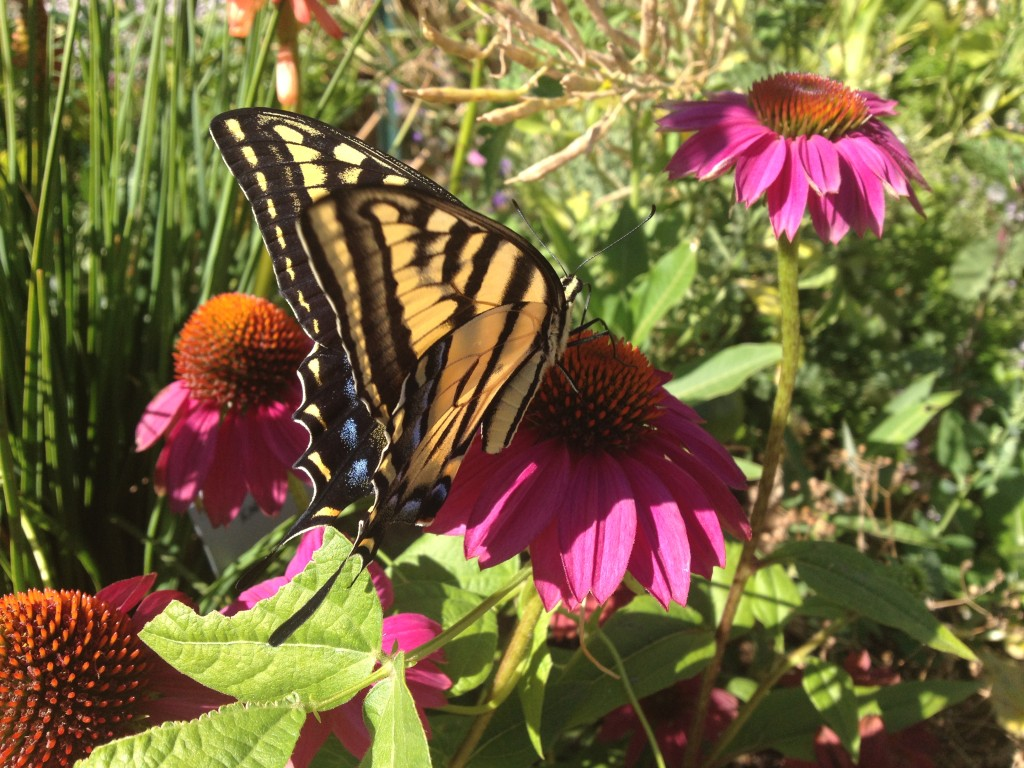 While a large two-tailed swallowtail necatared outside on an Echincacea flower