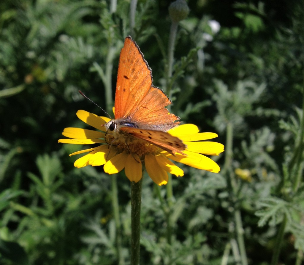 A copper on one of our Dyer's chamomile
