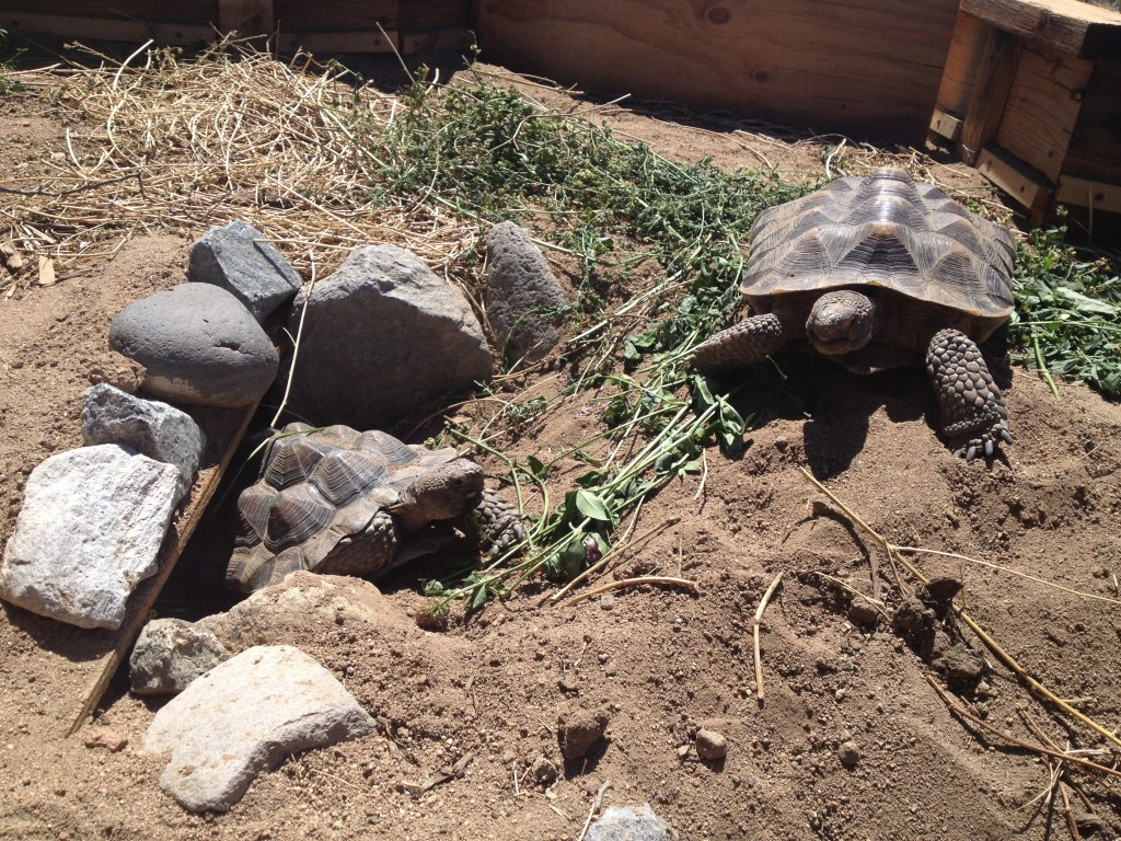 Tessie and Watson, our Mohave desert tortoises