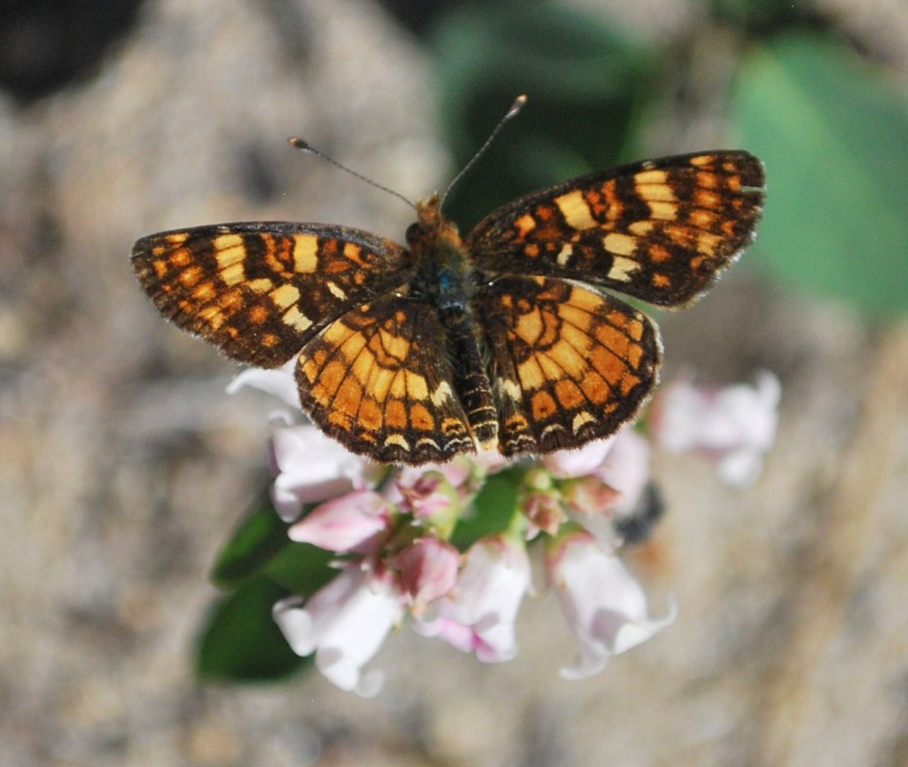 checkerspot_small